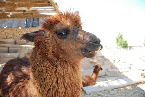 alpaca1_mug.jpg