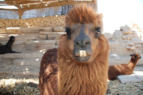 alpaca2_mug.jpg